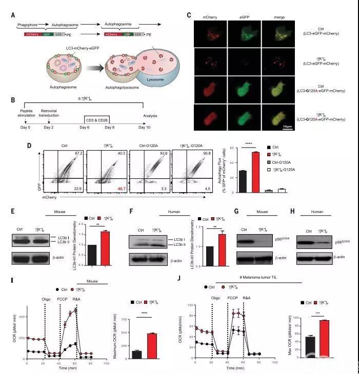 """长期""""面黄肌瘦""""的T细胞更加容易发生自噬"""
