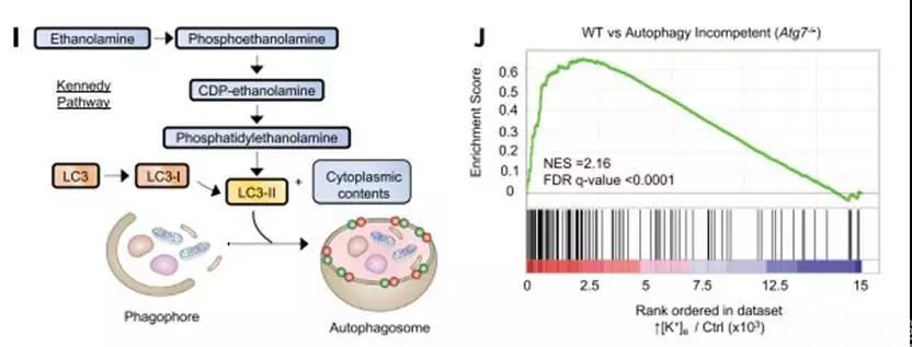 TME中高浓度K+触发T细胞营养摄取限制和功能性能量限制