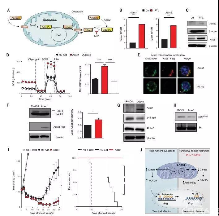 暴露于高浓度K+的体外环境中T细胞增强了抗肿瘤活性