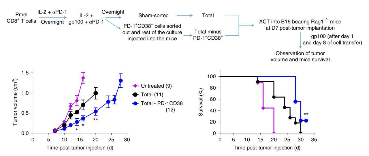 《自然》子刊:PD-1抗体竟还会杀死T细胞!科学家发现,PD-1抗体会引起没活化完全的T细胞失能、死亡,最终导致耐药丨科学大发现